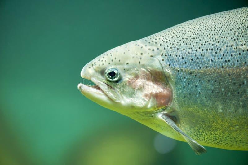 虹鳟或鳟鱼(Oncorhynchus mykiss 图库摄影