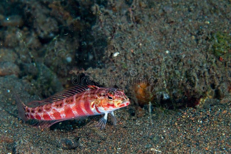 虾虎鱼鱼关闭画象,当潜水的印度尼西亚时 库存图片