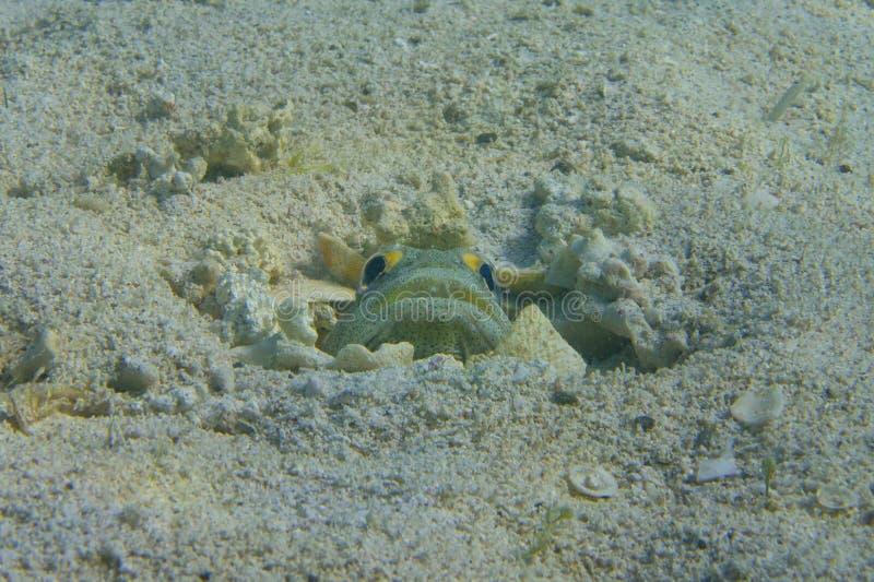 虾虎鱼鱼 库存图片
