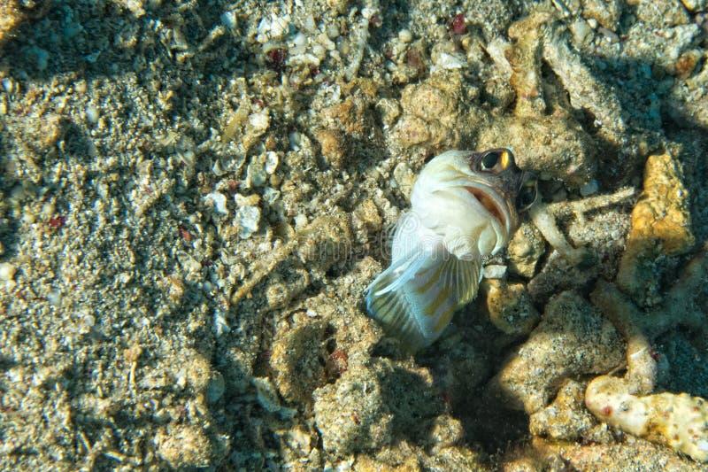 虾虎鱼鱼 库存照片