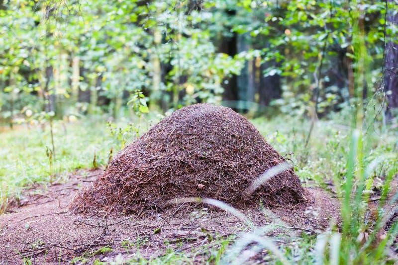 蚁丘,一种巨大形成在森林里 库存照片