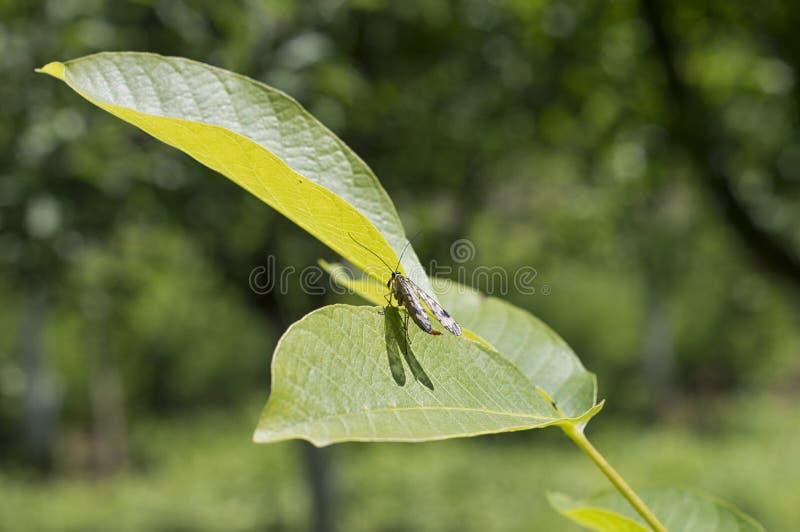 蚁狮臭虫坐核桃叶子 图库摄影