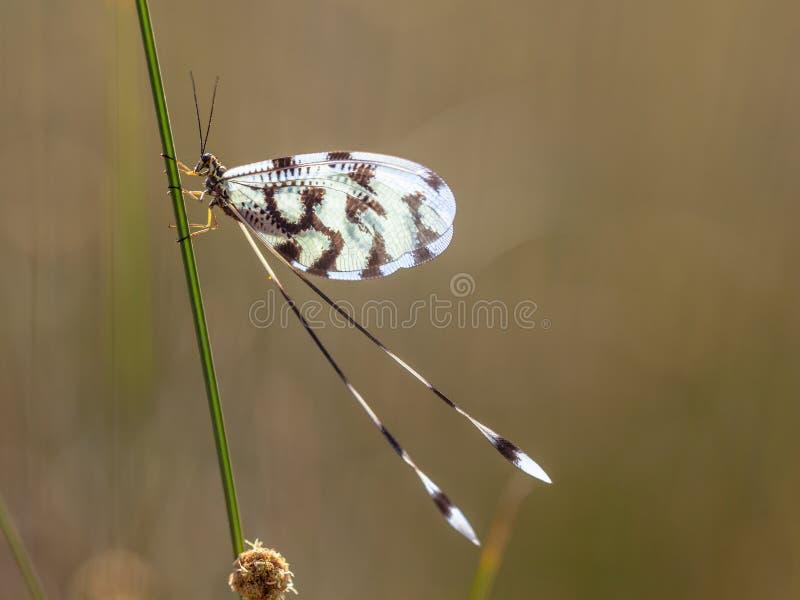 蚁狮Nemoptera昆虫 图库摄影