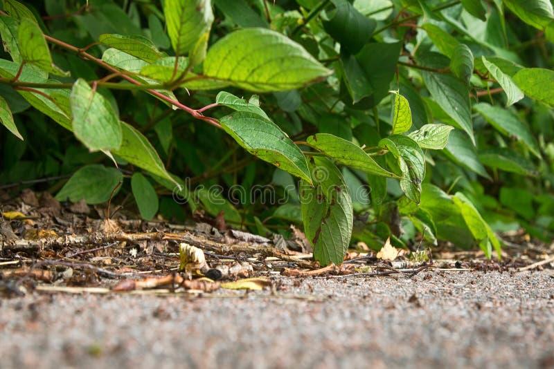 蚁酸路(蚂蚁方式)向蚁丘 免版税库存照片