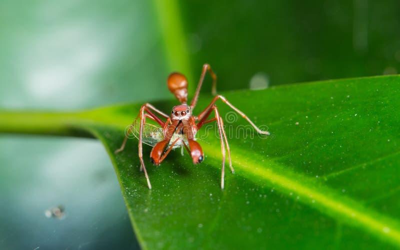 蚂蚁仿造蜘蛛 免版税图库摄影