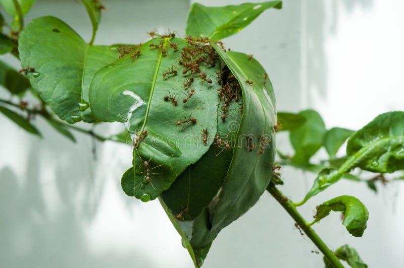 蚂蚁修建树的房子 库存照片