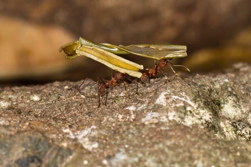 蚂蚁切割工困难叶子工作 库存照片