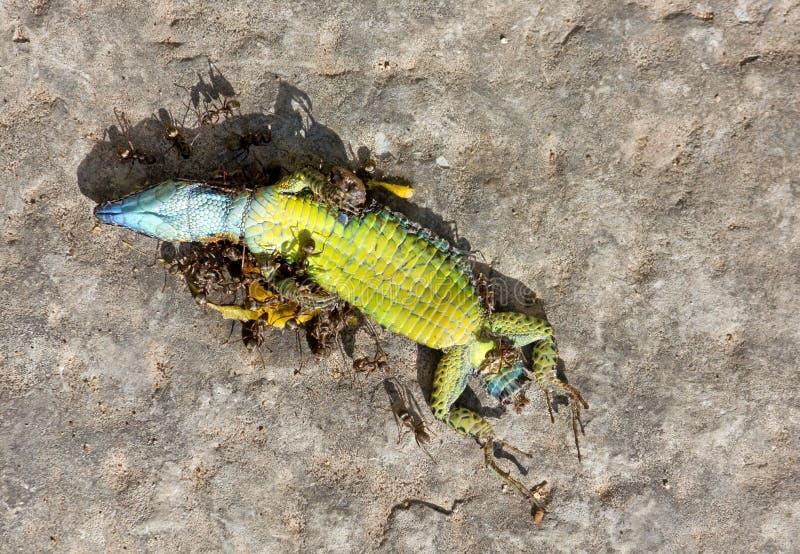 蝙蝠吃的死的爬行动物天天库跑蚂蚁待拉图片图片