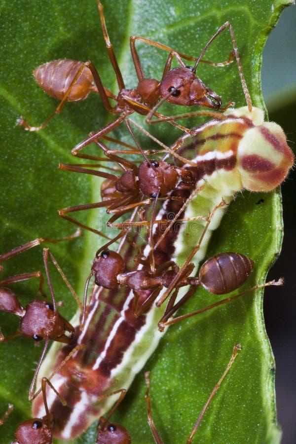 蚂蚁合作工作 免版税图库摄影