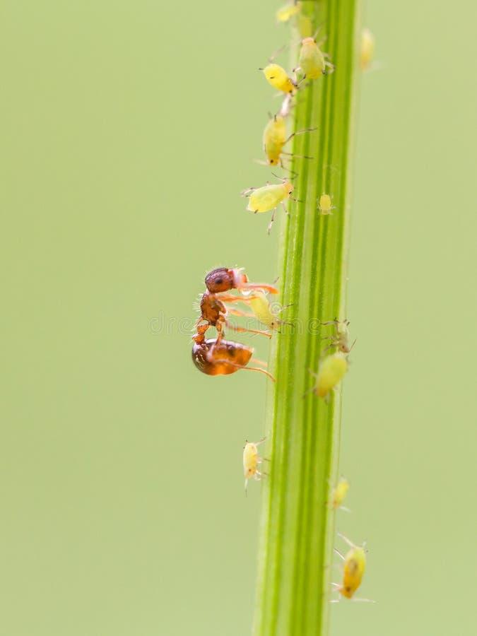 蚂蚁和蚜虫在植物 库存图片