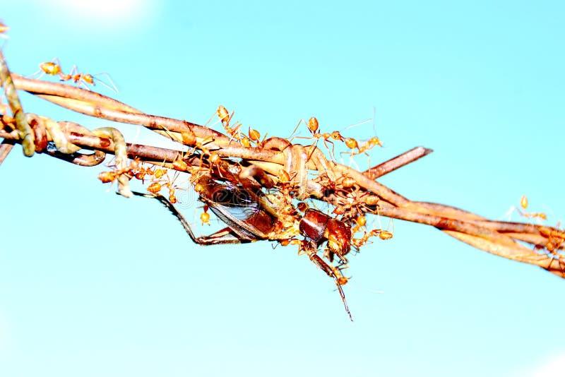 蚂蚁团结  免版税库存图片
