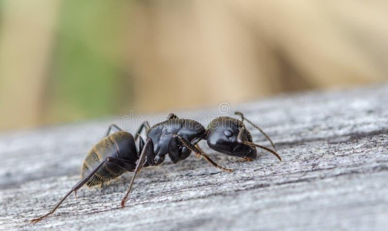 黑蚂蚁在木板爬行 免版税库存图片