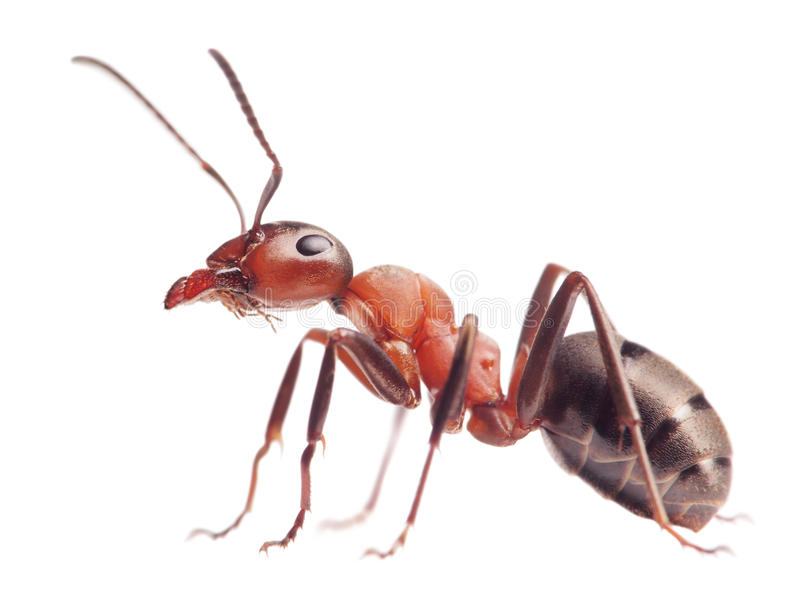 蚂蚁在白色的胶木rufa 免版税库存照片