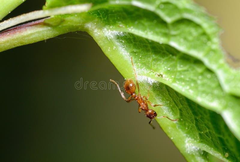 蚂蚁在草小树枝跑  免版税图库摄影