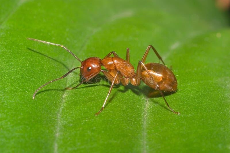 蚂蚁大红色 免版税库存照片