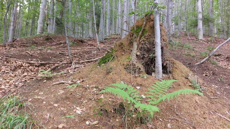 蚂蚁巢土墩在山毛榉森林里 免版税库存图片