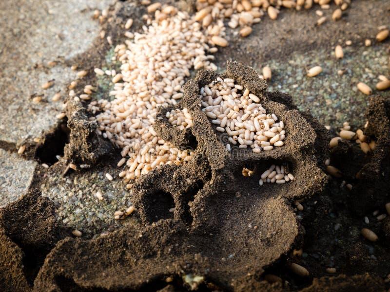 蚂蚁巢的顶视图 库存图片