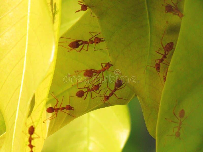 蚂蚁帮助修造他们在芒果树的年轻叶子的新的巢 一只红色蚂蚁火蚂蚁,成双的火蚁 免版税库存照片