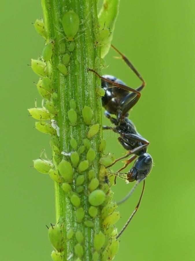 黑蚂蚁收获蚜虫的甘露 免版税库存照片