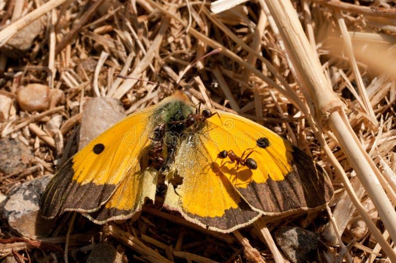 蚂蚁收获死者覆盖了在一个干旱的领域的黄色蝴蝶Colias croceus 免版税图库摄影
