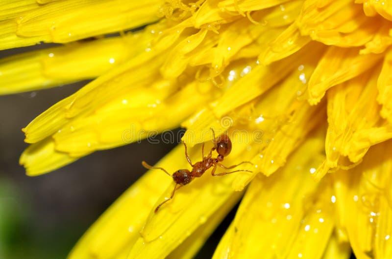 蚂蚁收集蒲公英的花粉 图库摄影