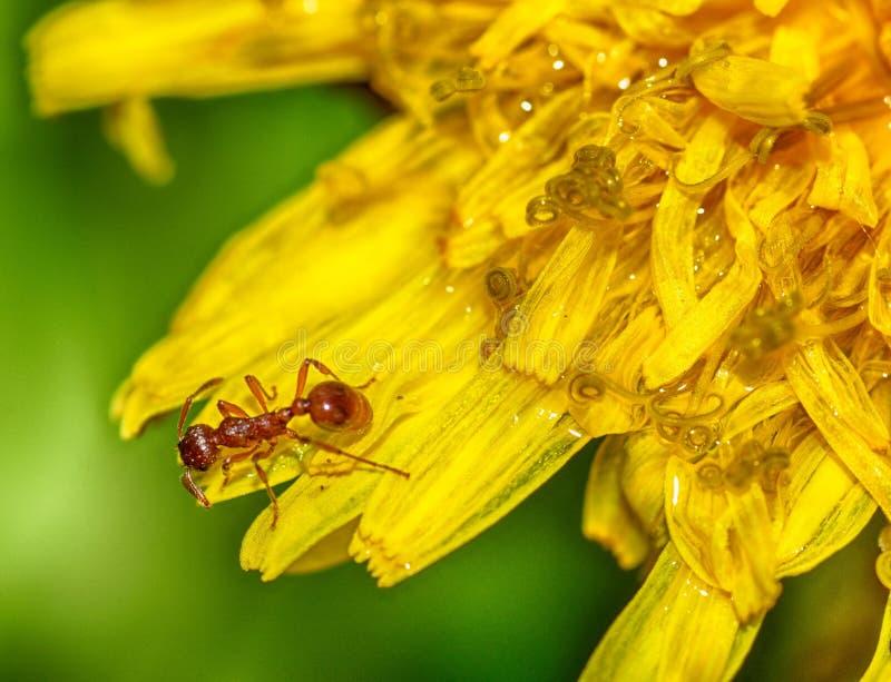 蚂蚁收集蒲公英的花粉 免版税库存图片