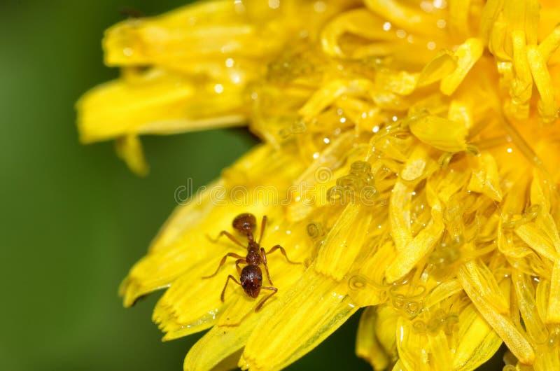 蚂蚁收集蒲公英的花粉 库存图片