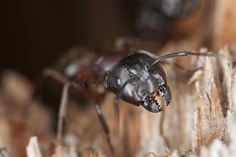 蚂蚁木匠宏指令照片 免版税图库摄影