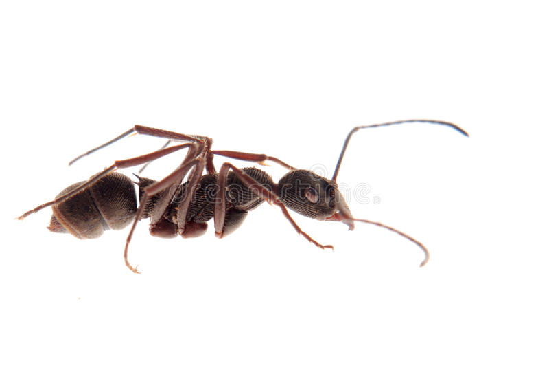 蚂蚁查出 免版税库存图片
