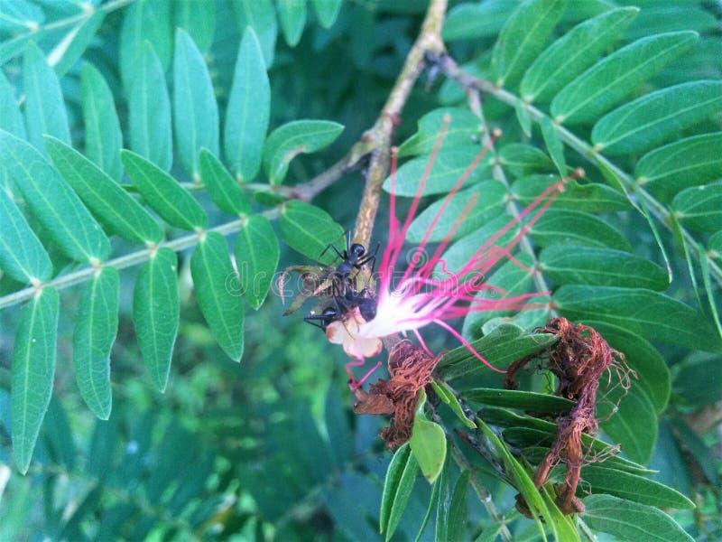 蚂蚁查寻蜂蜜 库存照片