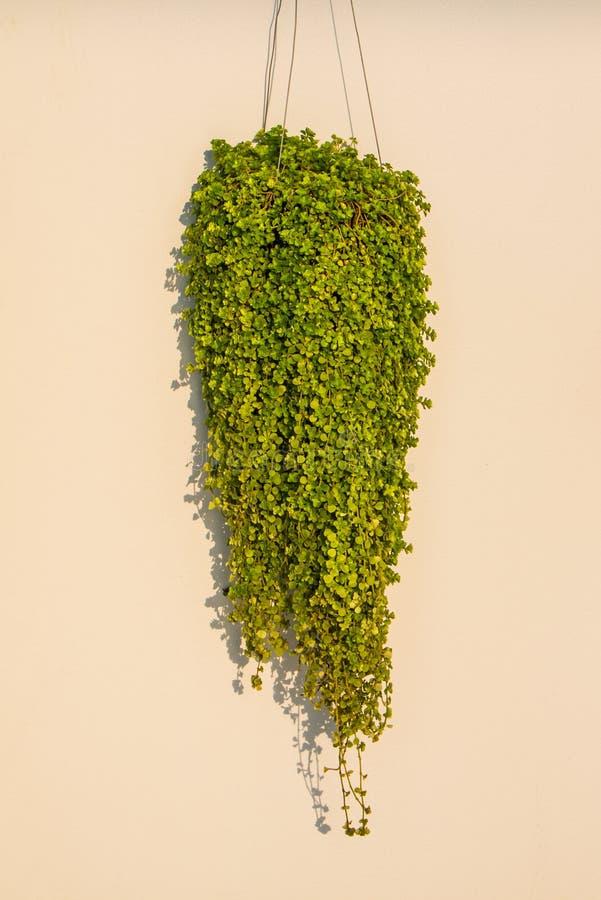 蚂蚁植物或Dischidia nummularia Variegata 库存图片