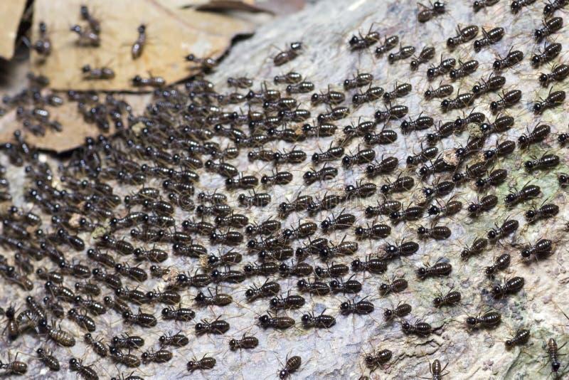 蚂蚁殖民地的巨大迁移 免版税库存图片