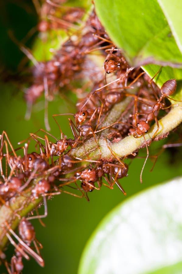 蚂蚁殖民地织工 免版税库存照片