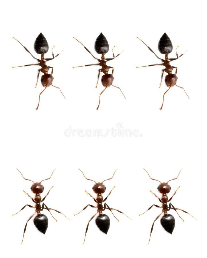 蚂蚁的军事独立小分队在白色背景的 宏指令 免版税库存照片