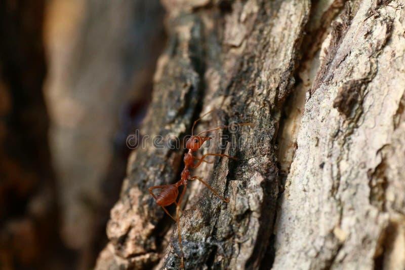 蚂蚁红色,在树纹理选择聚焦的蚂蚁 免版税图库摄影