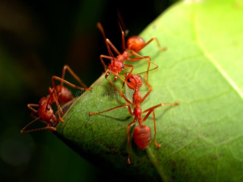 蚂蚁红色 免版税库存图片