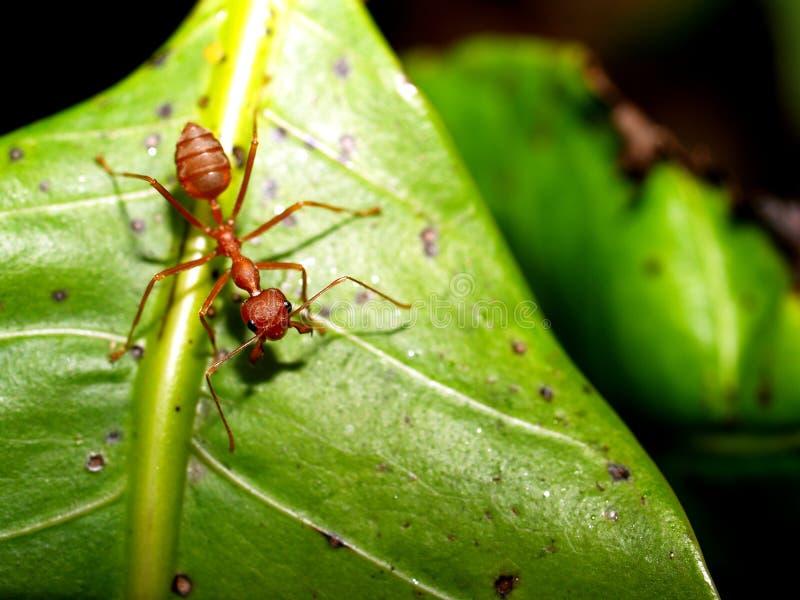 蚂蚁红色 免版税图库摄影