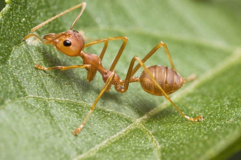 蚂蚁织工 免版税库存图片
