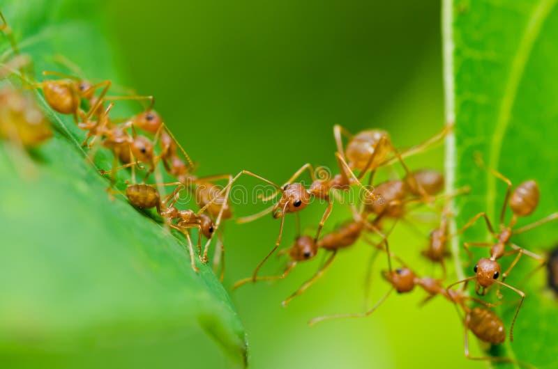 Download 蚂蚁绿色本质红色 库存照片. 图片 包括有 唯一, 橙色, 行程, 水平, 工作者, 野生生物, 颜色, 生物 - 22356110