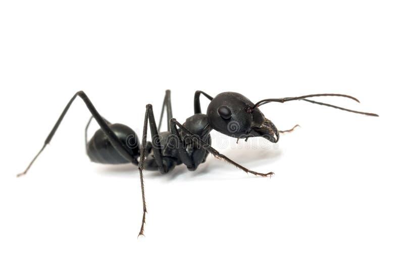 蚂蚁背景查出的白色 免版税库存照片