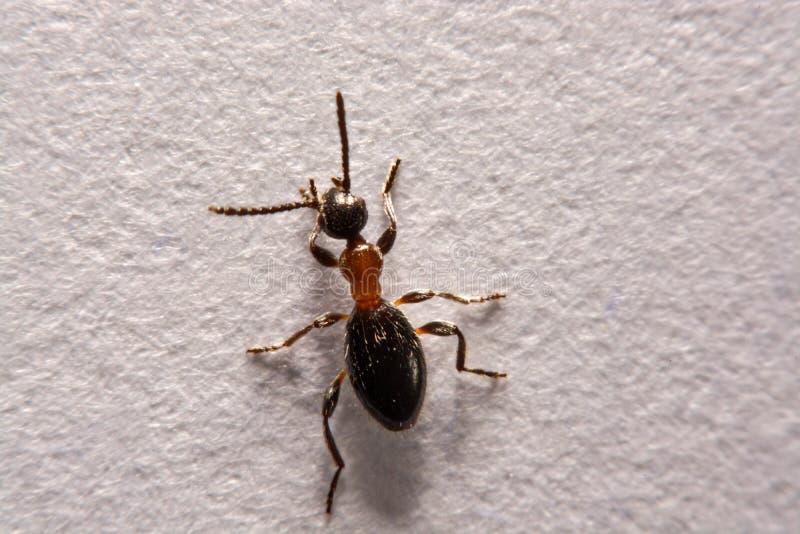 蚂蚁胶木rufa在白色背景的照片蚂蚁 免版税库存照片