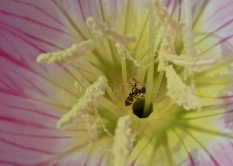 蚂蚁花雌蕊 库存图片