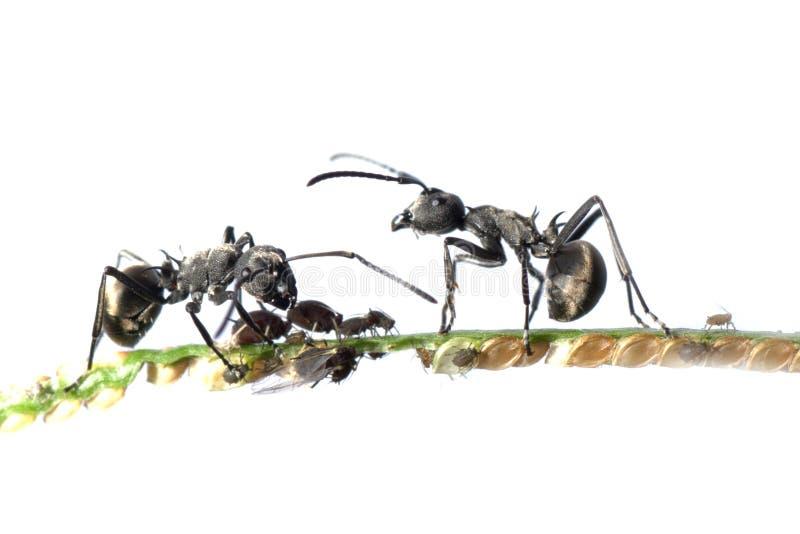 蚂蚁蚜虫共生 免版税库存图片