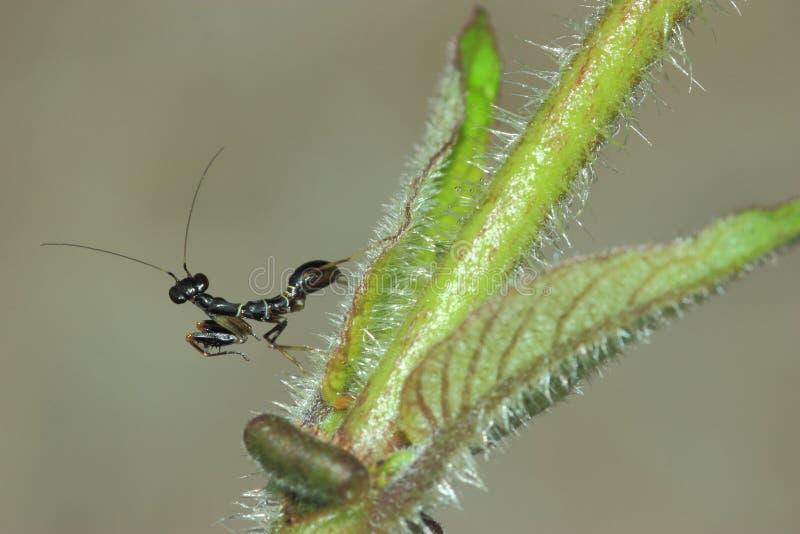 黑蚂蚁螳螂 库存照片