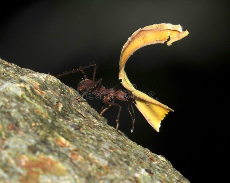 蚂蚁运载的肋前缘切割工叶子rica 库存图片