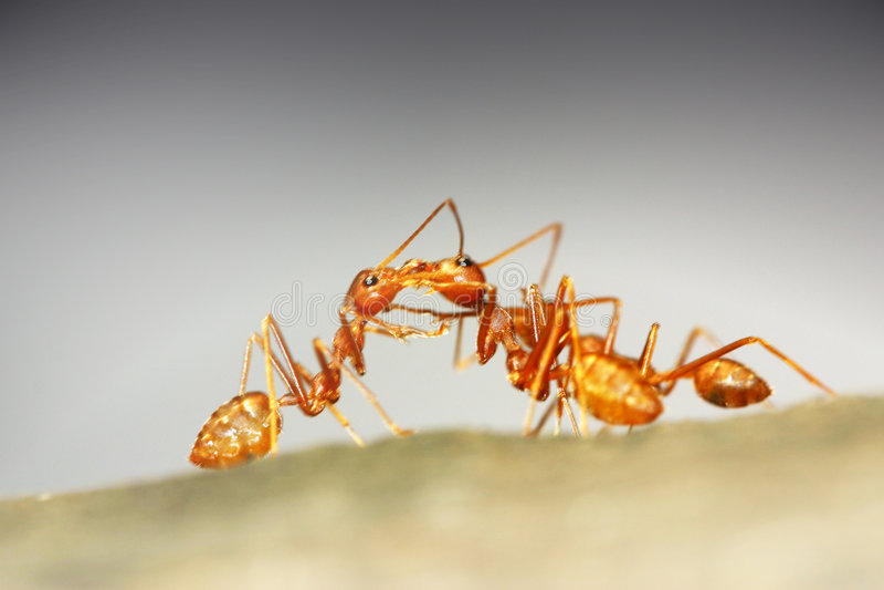蚂蚁配合 库存照片