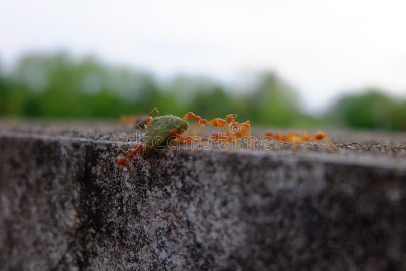 蚂蚁采取他们的食物对巢 免版税图库摄影