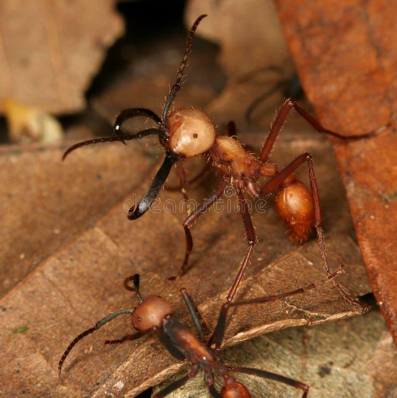 蚂蚁陆军 库存图片