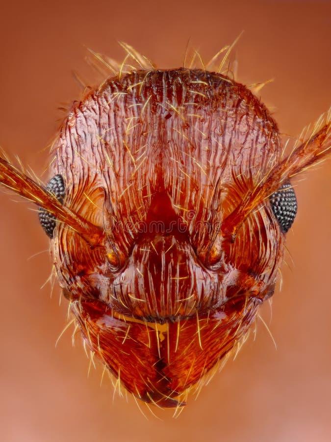 蚂蚁头关闭 图库摄影