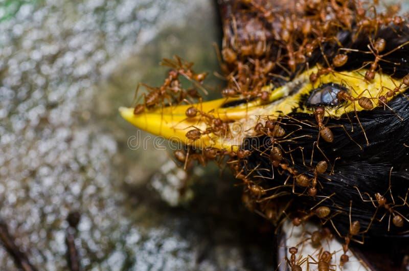 Download 蚂蚁鸟吃绿色本质红色 库存照片. 图片 包括有 颜色, 野生生物, 工作者, 的百威, 敌意, 详细资料 - 22356144